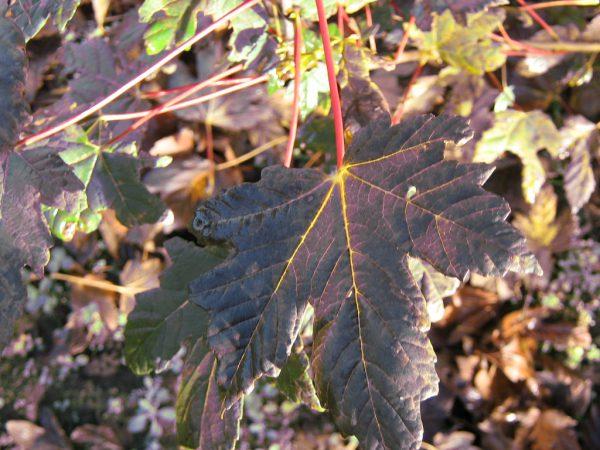 Acer sicomoro