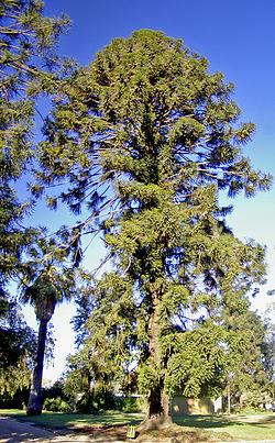 Araucaria.JPG1