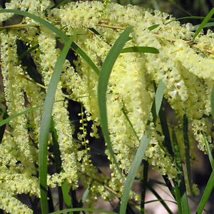 acacia floribunda 2