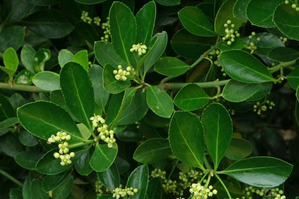 Euonymus-japonicus-6