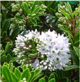 Verónica-Buxifolia