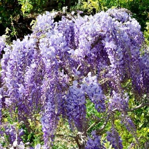 glicina wisteria